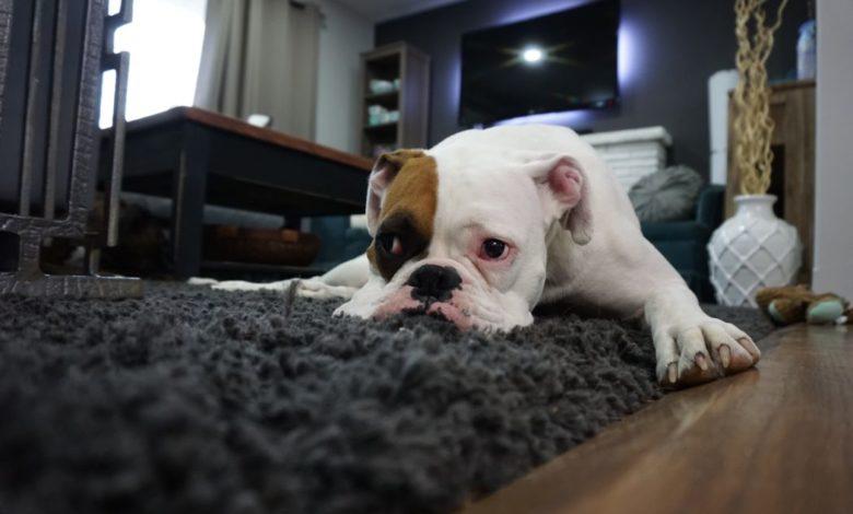 lazy linux dog