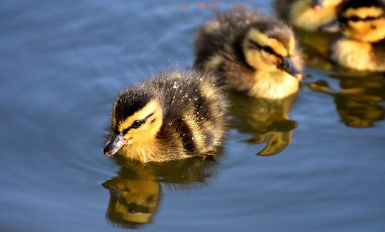 Go, DuckDuck, Go! (Foto: Alexas_Fotos/Pixabay)