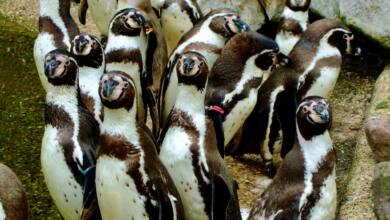 Angriff der Pinguine (Foto: Christian Rentrop)